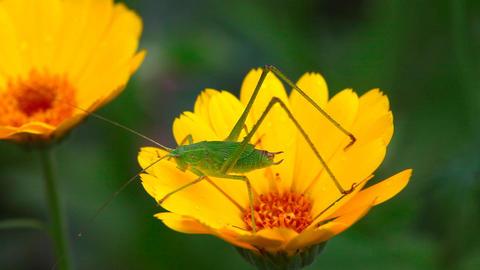 Grasshopper Footage