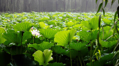 waterlily 2 Stock Video Footage