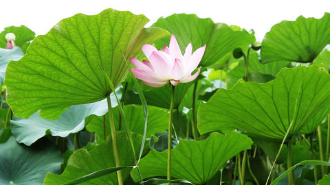 waterlily 4 Stock Video Footage