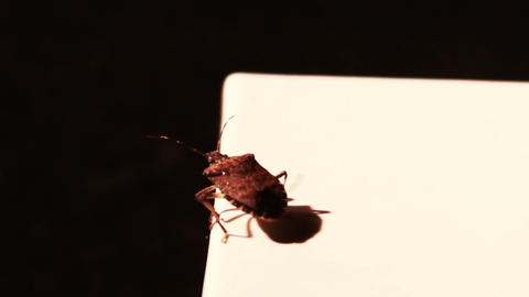Stink Bug Flying Away stock footage