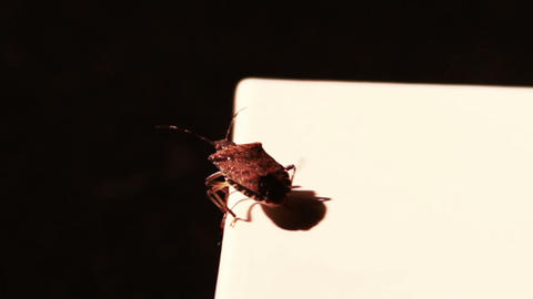 Stink Bug Flying Away Stock Video Footage