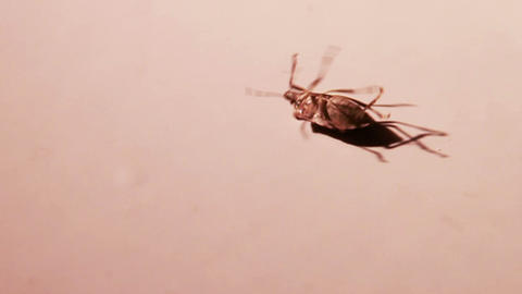 Stink Bug Trying to Get on its Feet, Slow Motion Stock Video Footage
