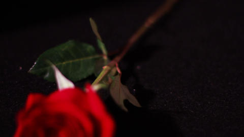 Roses With Black Background 0
