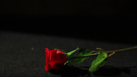 0557 Rose Falling in Slow Motion Footage