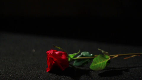 0557 Rose Falling in Slow Motion Stock Video Footage