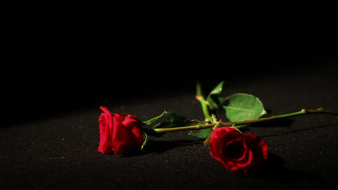 0567 Roses Falling in Slow Motion Footage