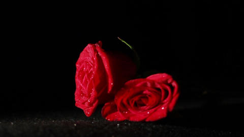 0580 Roses Falling in Slow Motion Footage