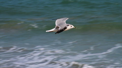 Seagull Flying in Slow Motion by Ocean Footage