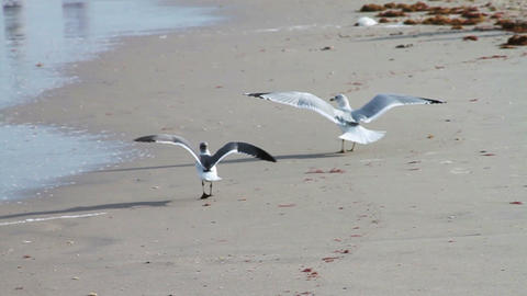 Seagulls on Beach Stock Video Footage