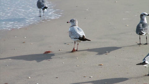 Seagulls on Beach Close up Footage