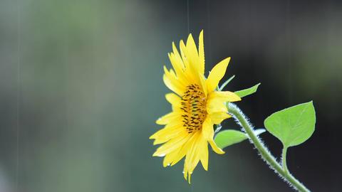 Sunflower in rain Footage
