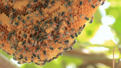 honeycomb with bee on green tree Footage
