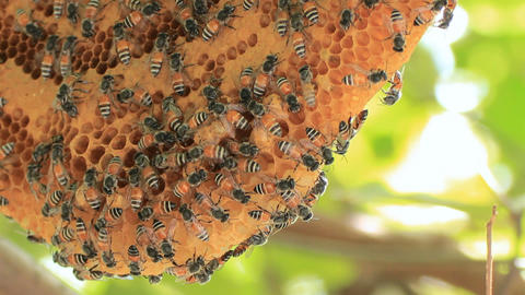 honeycomb with bee on green tree Stock Video Footage