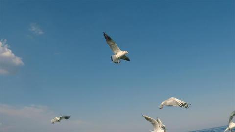 Seagulls 06Seagulls Footage