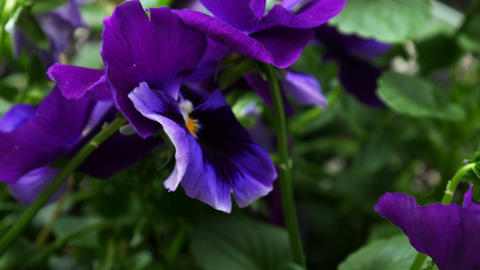 1718 Purple Flower Pansy, HD Footage