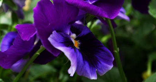 1719 Purple Flower Pansy, 4K Footage
