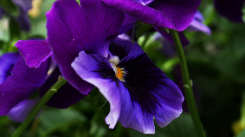 1720 Purple Flower Pansy, HD Stock Video Footage