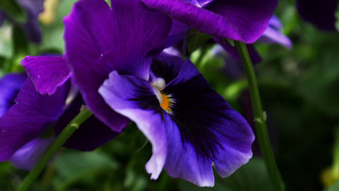1720 Purple Flower Pansy, HD Footage