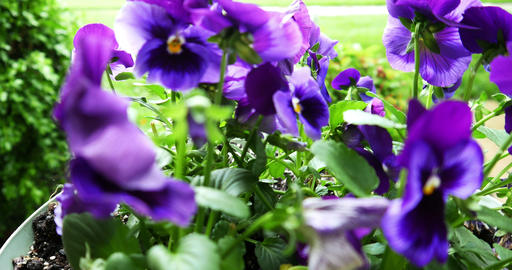 1721 Purple Flower Pansy, 4K Footage