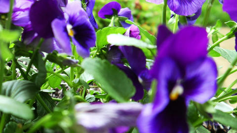 1722 Purple Flower Pansy, HD Footage