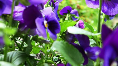 1722 Purple Flower Pansy, HD Stock Video Footage