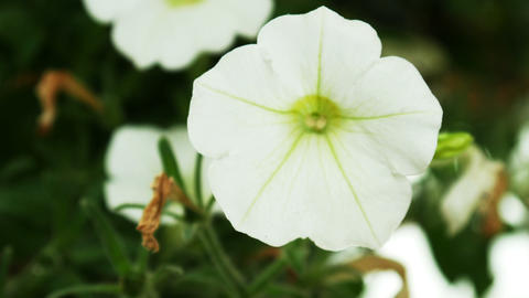 1724 White Flower Pansy, HD Footage