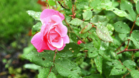 1730 Pink Rose with Water Drops, HD Stock Video Footage