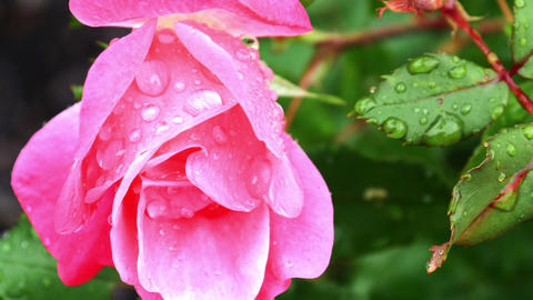 1732 Pink Rose with Water Drops, HD Live Action
