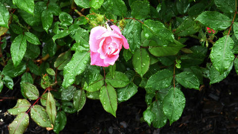 1734 Pink Rose with Water Drops, HD Stock Video Footage
