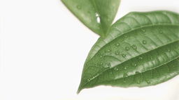 Drops falling in super slow motion from leaves Footage