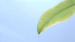 Drops flowing in super slow motion from a leaf Footage