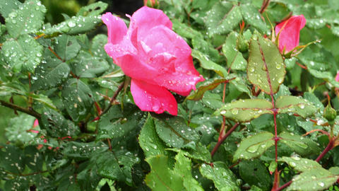 1741 Pink Rose with Water Drops, 4K Stock Video Footage