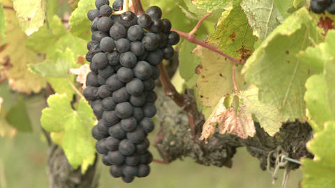 bunch of ripe grapes Stock Video Footage