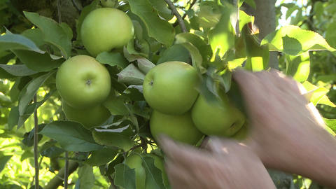 closeup of apple pickers hands Footage