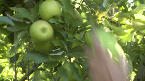 closeup of apple pickers hands Stock Video Footage