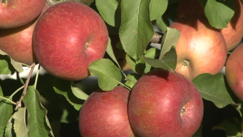 ripe fuji apples on tree zoom out Footage