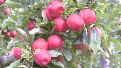 hands of apple picker Stock Video Footage