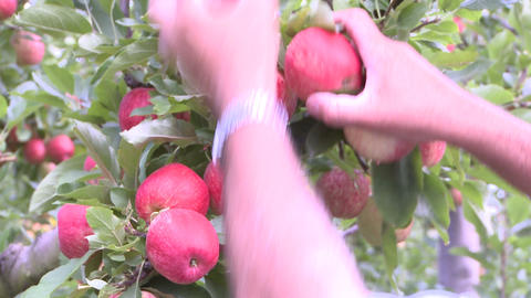 hands of apple picker Footage
