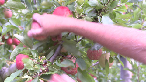hands of apple picker Stock Video Footage