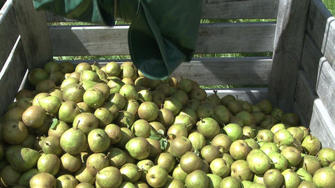 pears placed into a bin Stock Video Footage