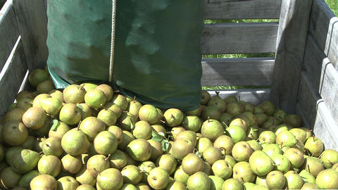 pears placed into a bin Footage