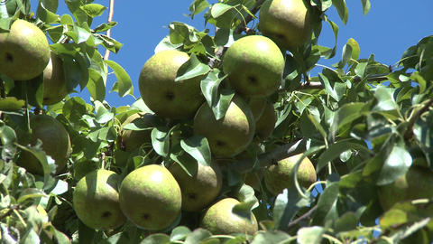 pears on tree Stock Video Footage