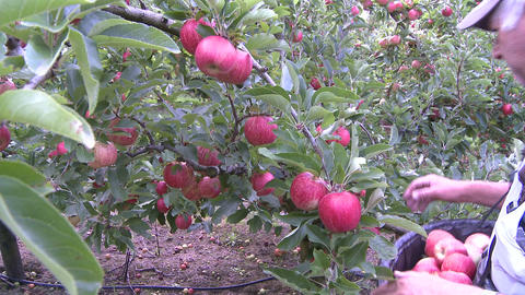 apple picker close up Stock Video Footage