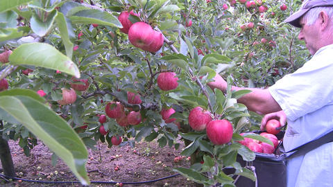apple picker close up Footage