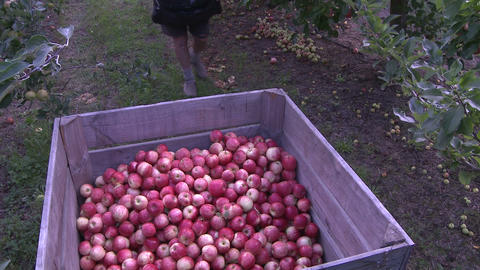 apple picker places apples in bin Stock Video Footage