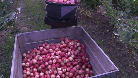 apple picker places apples in bin Footage