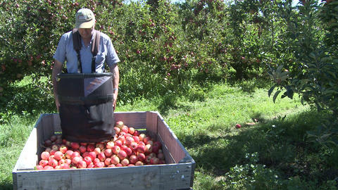 picking Royal Gala apples Stock Video Footage