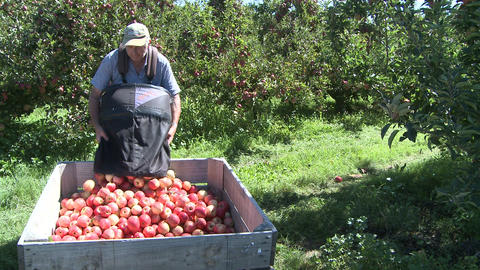 picking Royal Gala apples Footage