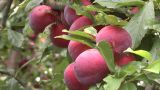 Plums On Tree stock footage