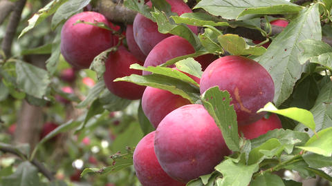 plums on tree Stock Video Footage